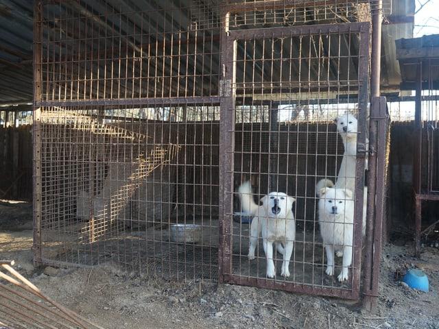 Schlachthunde in einem Käfig am Stadtrand von Wonju, zwei Autostunden östlich der Hauptstadt Seoul.