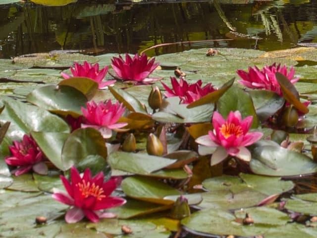 Seerosen auf einem Teich mit tiefrosa Blüten