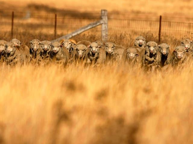 Eine Herde Merino-Schafe auf einer Farm in Australien.