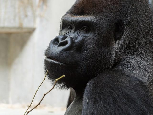 Grossaufnahme vom Kopf des Gorillas M'Tongé, der seit der vergangenen Woche im Zoo Basel lebt.