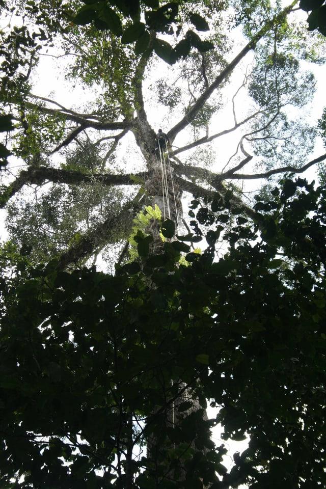 Gigantischer Tropenbaum
