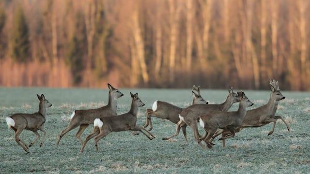Sieben Rehe laufen in einer Gruppe über eine Wiese entlang eines Waldes.