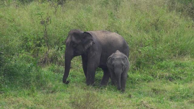 Weibliche asiatische Elefanten bleiben ein Leben lang in der Familienbande zusammen.