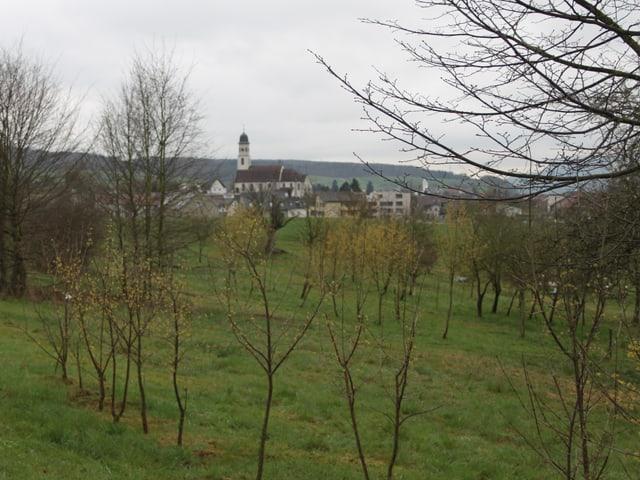 Blühende junge Kornelkirschbäume. Im Hintergrund die Kirche von Frick.