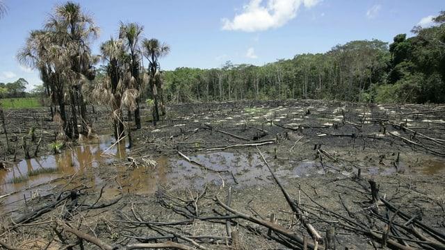 Eine grosse Fläche auf der nur noch abgesägte Baumreste stehen. Im Hintergrund sind noch ein paar stehende Bäume.