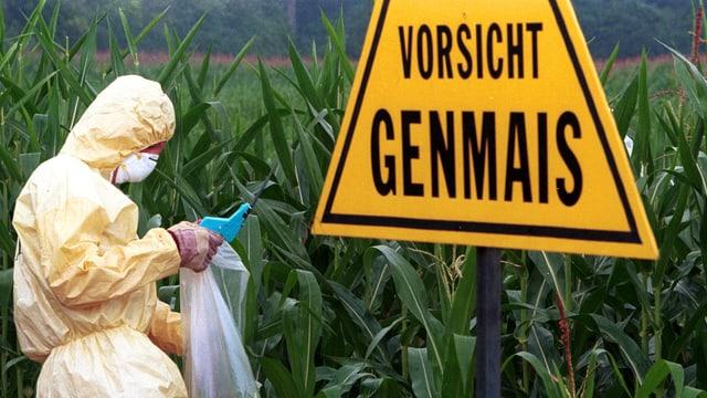 Ein Greenpeace-Aktivist sammelt Proben auf einem Genmais-Feld.