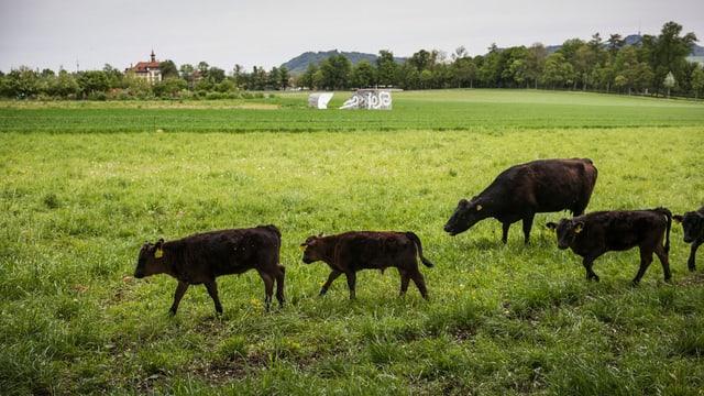 Blick über das Berner Viererfeld. Im Vordergrund grasen schwarze Rinder.