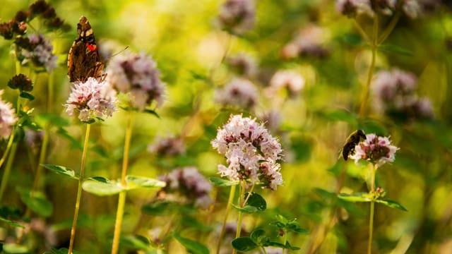 Schmettreling auf Oregano-Blüte