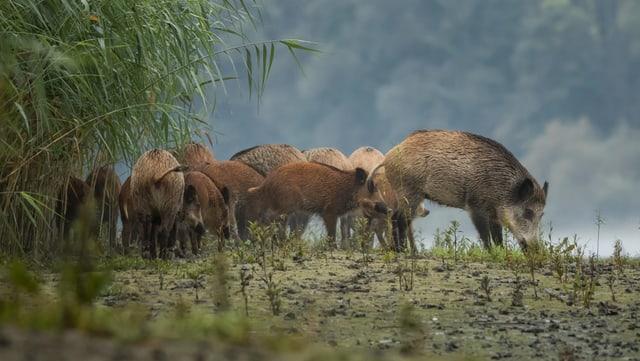 Video «Animalis: Das Wildschwein (1/10)» abspielen