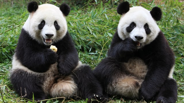 Zwei junge Pandas sitzen nebeneinander und essen einen Apfel.