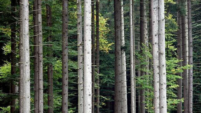 Baumstämme in einem Zürcher Wald.