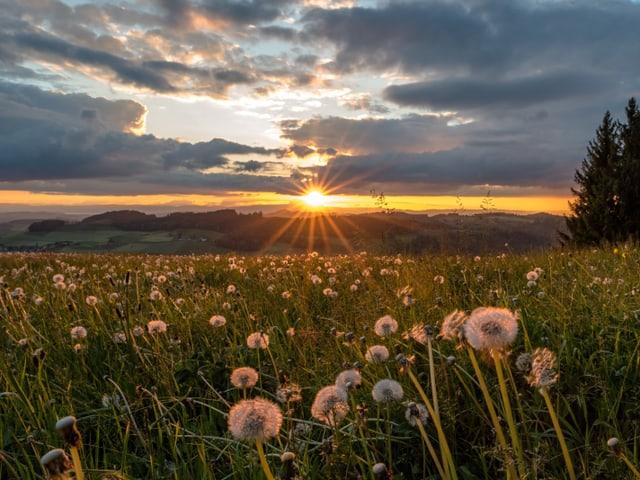 Blumenwiese vorne, hinten Sonnenuntergang.