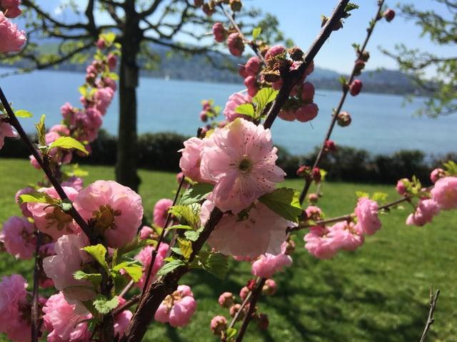 Offene Kirschblüte, im Hintergrund der See.