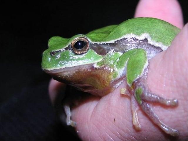kleiner, grüner Laubfrosch sitzt auf einer Hand