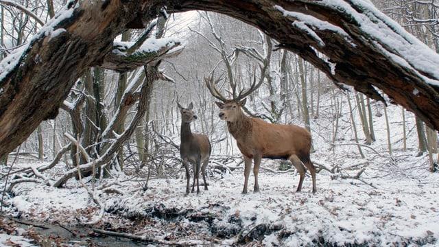 Zwei Hirsche im verschneiten Wald.