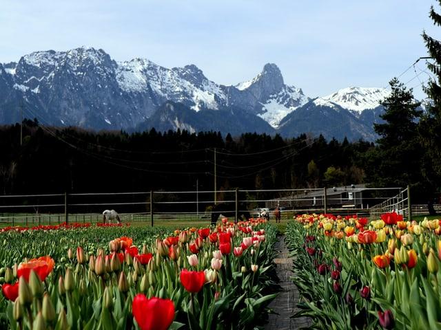 Stockenkette im Hintergrund, Tulpen blühen davor.