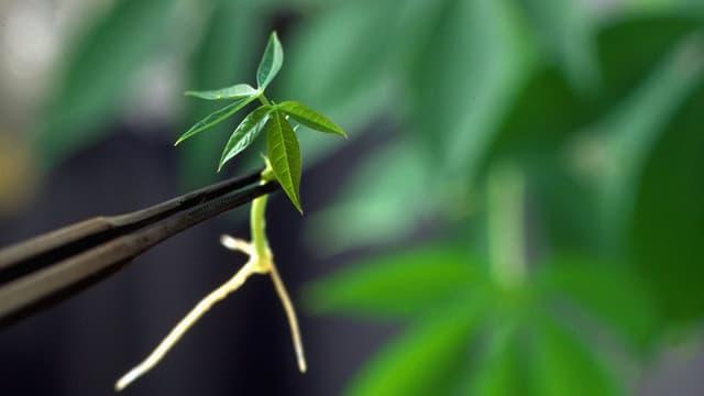 Plantina da manioc en in labor.