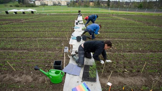 Stundenten pflanzen gentechnisch veränderten Weizen auf einem Feld