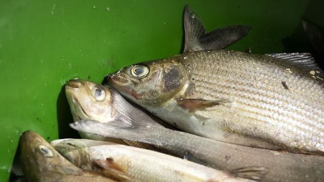 Viele verschiedene tote Fische.