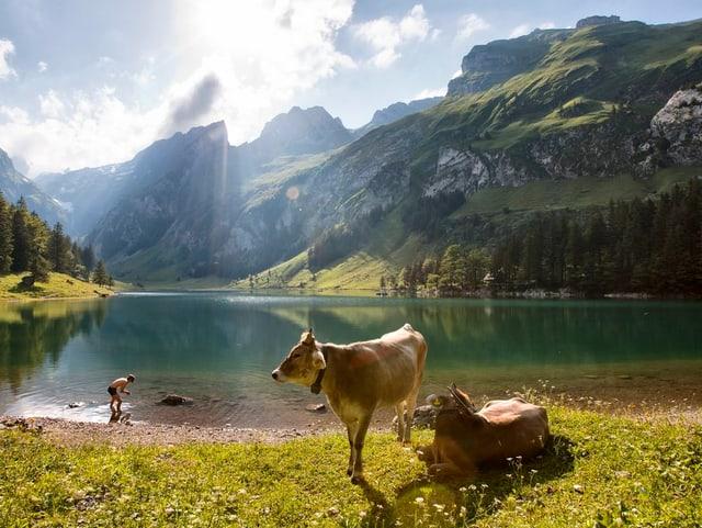 Kühe stehen am Ufer eines Bergsees.