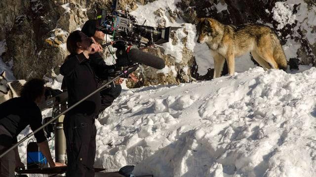 Wolf auf Filmset.