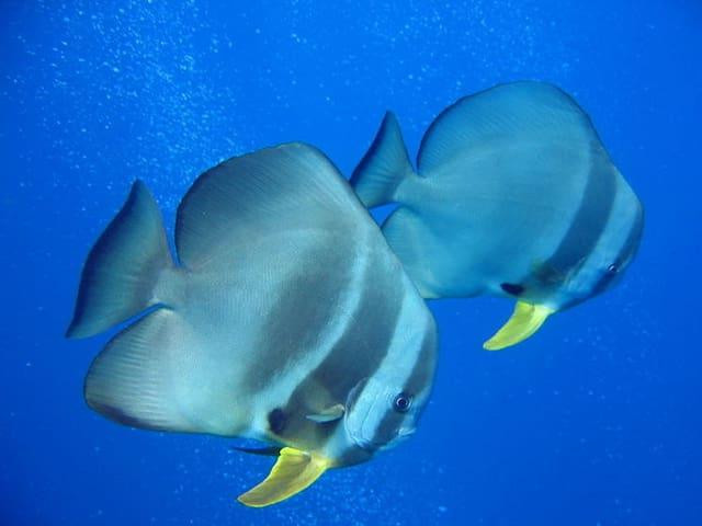Zwei Langflossen-Fledermausfische schwimmen gemächlich durch das Meer.