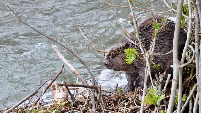 Biber im Gehölze am Ufer eines Flusses