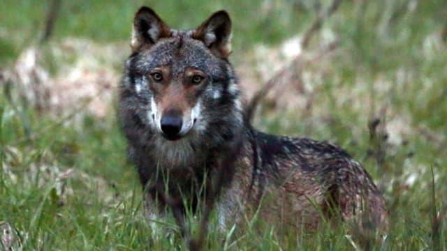 Ein Bild eines Wolfes der in hohem Gras sitzt.