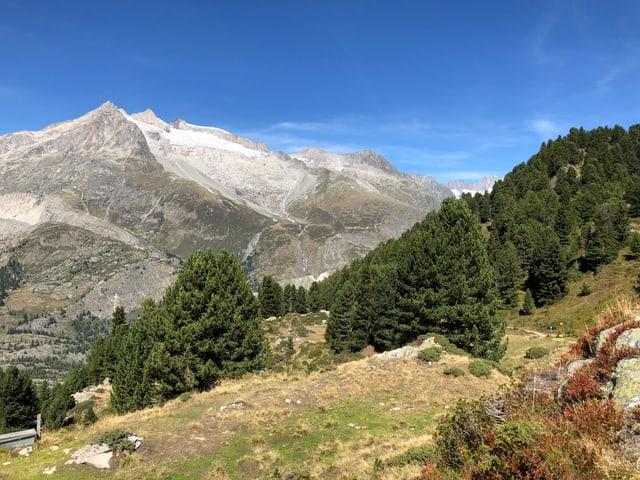 Aletschwald und Berge.