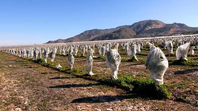 Die Region Murcia in Südostspanien. Eingepackte Reben so weit das Auge reicht.