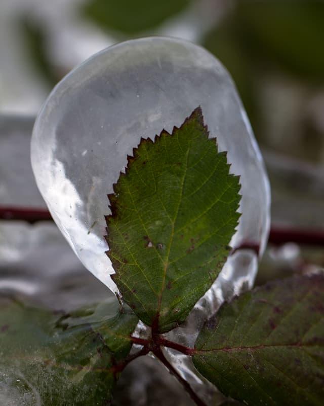 Ein Blatt umhüllt von einer Eisschicht.
