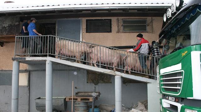 Schweine werden über eine Brücke in einen Transporter geführt.