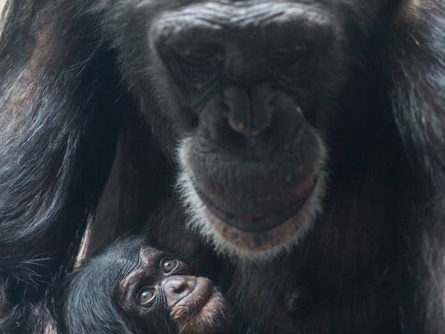 Man sieht das junge Aeffchen zusammen mit der Schimpansen Mutter