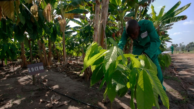 Arbeiter auf einer Kakao-Plantage