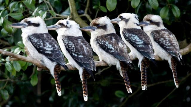 Fünf Kookaburras in einem Vorgarten in der Metropole Sydney, 2002.