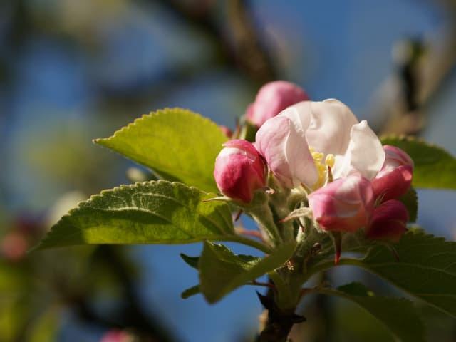 Ein halb offene Apfelblüte