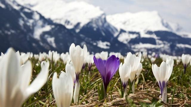 Krokusse vor Bergpanorama (Archivbild)