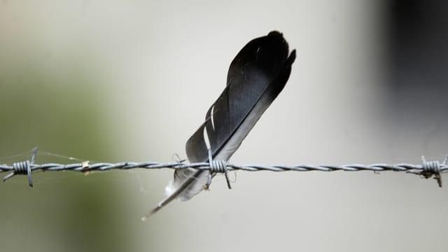 Eine Feder hängt an einem Stacheldraht
