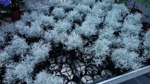 Era questa erva da Bonanza è adattada fitg bain per l'enviern.