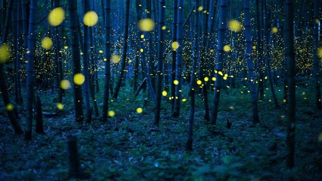 Gelb erleuchtete Glühwürmchen in einem dunklen Wald.