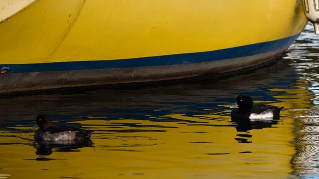 Enten auf dem Bodensee