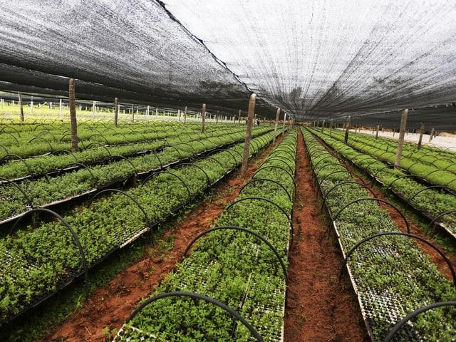 Stevia-Setzlinge auf einer Plantage in Paraguay.