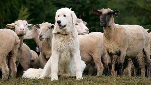 Ein Hund sitzt vor einer Schafherde