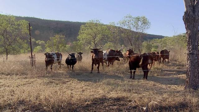 Rinder lockern den Boden und bringen neues Grün