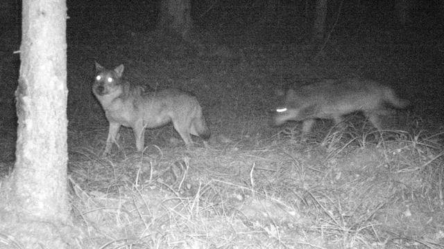Zwei Wölfe in der Nacht.