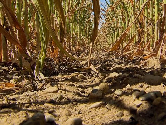 Dürre auf einem Maisfeld