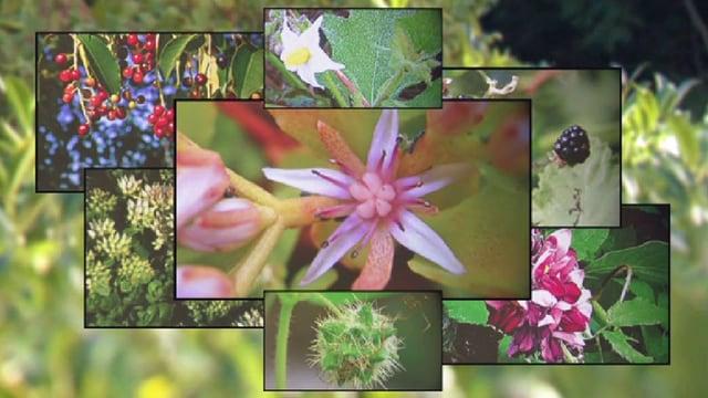 Bekämpfung von invasiven Pflanzen wird untergraben