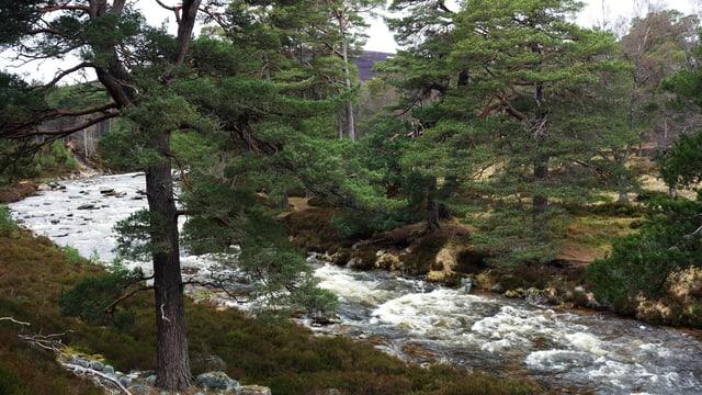 Zwei Bäume an einem wilden Fluss.