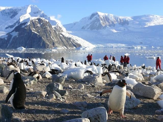 Im Vordergrund ist eine Pinguinkolonie, dahinter und dazwischen stehen Besucher in roten Daunenjacken.
