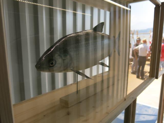 In der Ausstellung können Präparate von Fischen betrachtet werden.